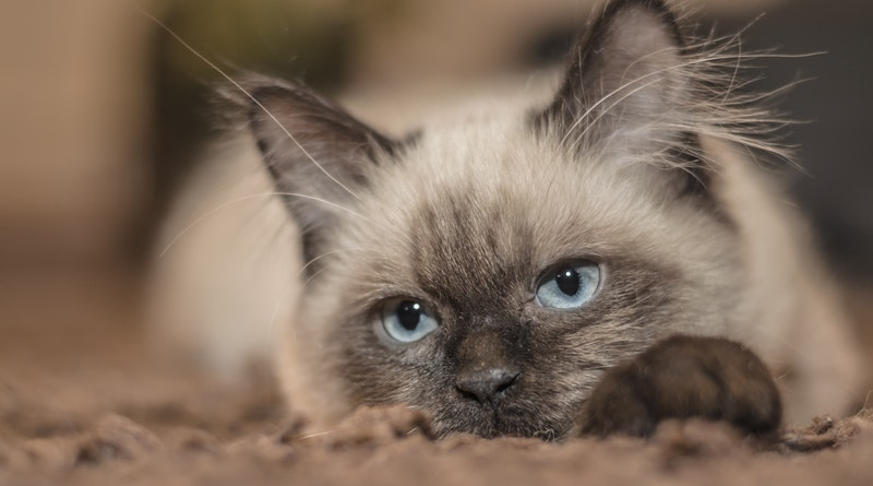 All you need to know about a Siamese Cat