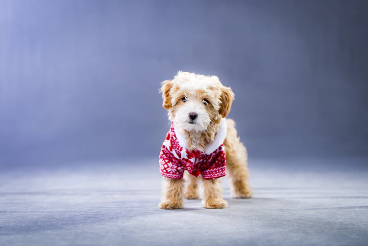 Why Clothing Your Dog is So Important: A Guide for Dog Clothes